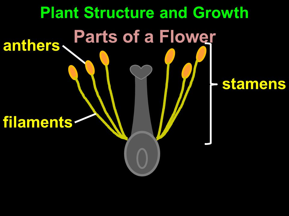 anthers stamens filaments