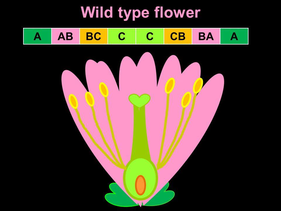 Wild type flower A AB BC C C CB BA A