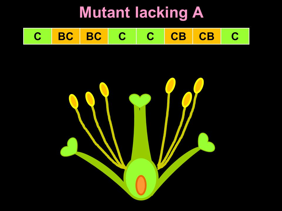 Mutant lacking A C BC BC C C CB CB C