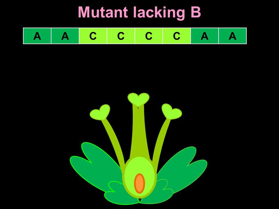 Mutant lacking B A A C C C C A A