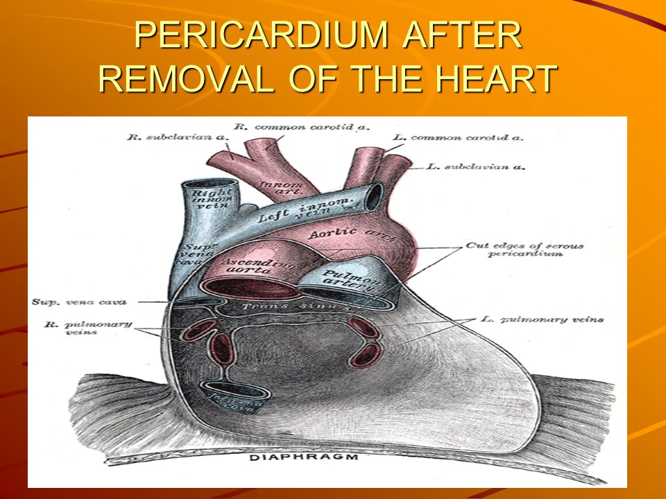 PERICARDIUM AFTER REMOVAL OF THE HEART