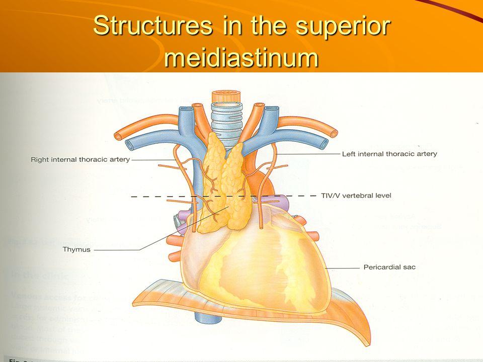 Structures in the superior meidiastinum