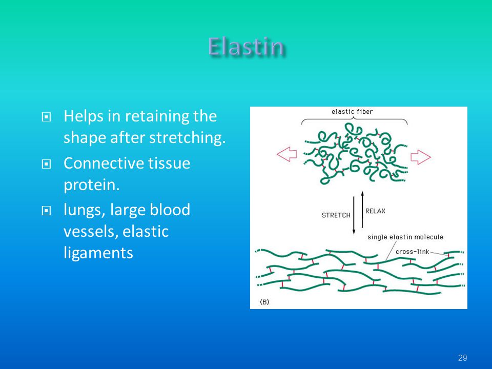 Elastin Helps in retaining the shape after stretching.