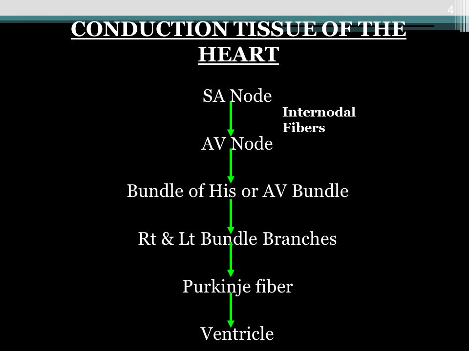 CONDUCTION TISSUE OF THE HEART
