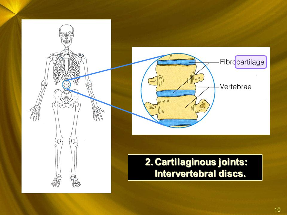 Cartilaginous joints: Intervertebral discs.