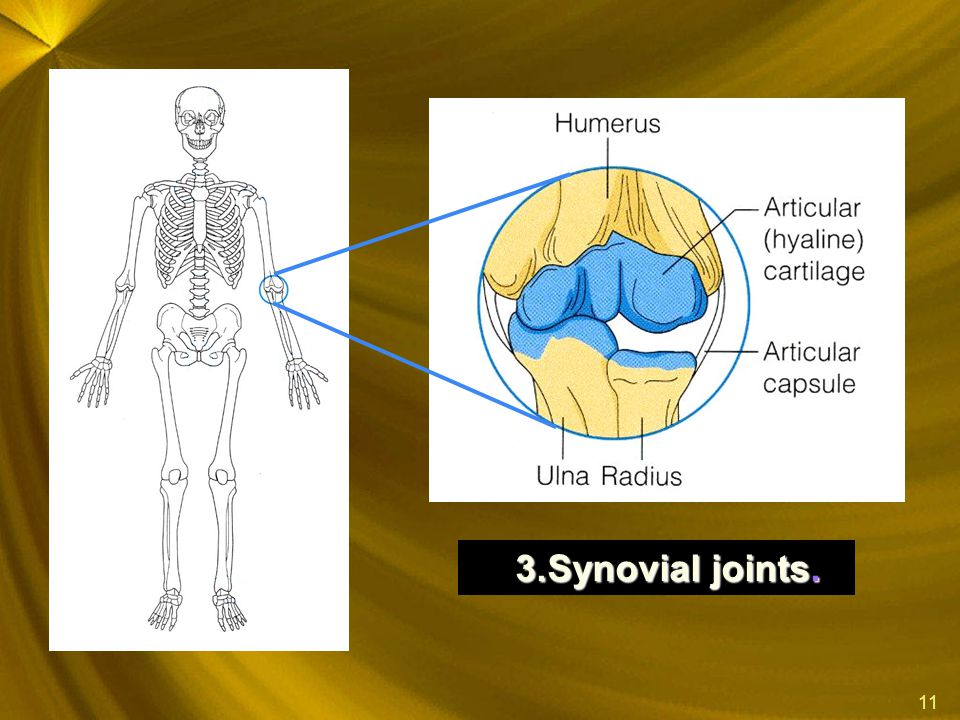 Synovial joints.