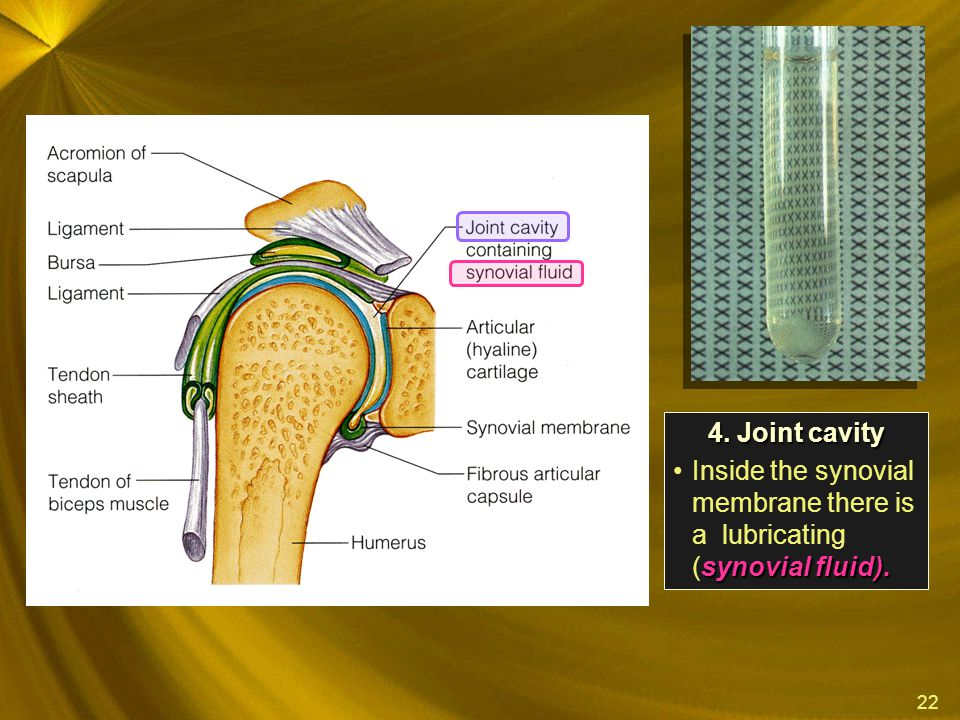 4. Joint cavity Inside the synovial membrane there is a lubricating (synovial fluid).