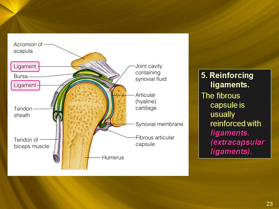 5. Reinforcing ligaments.