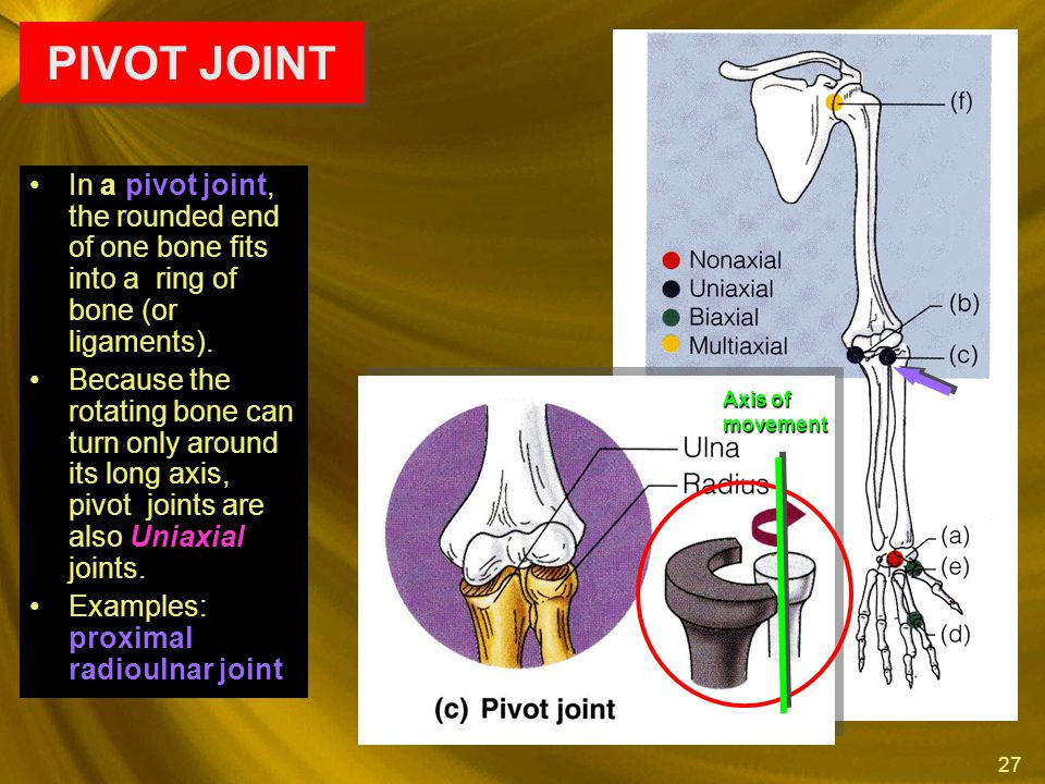 PIVOT JOINT In a pivot joint, the rounded end of one bone fits into a ring of bone (or ligaments).