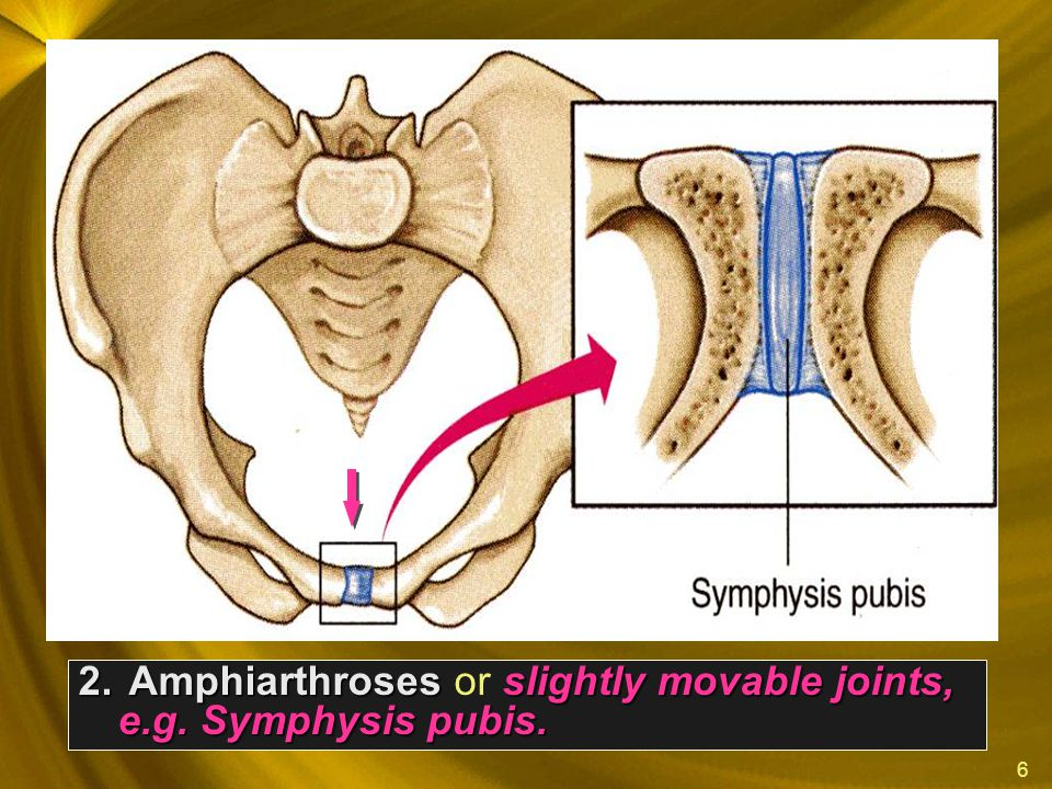 Amphiarthroses or slightly movable joints, e.g. Symphysis pubis.