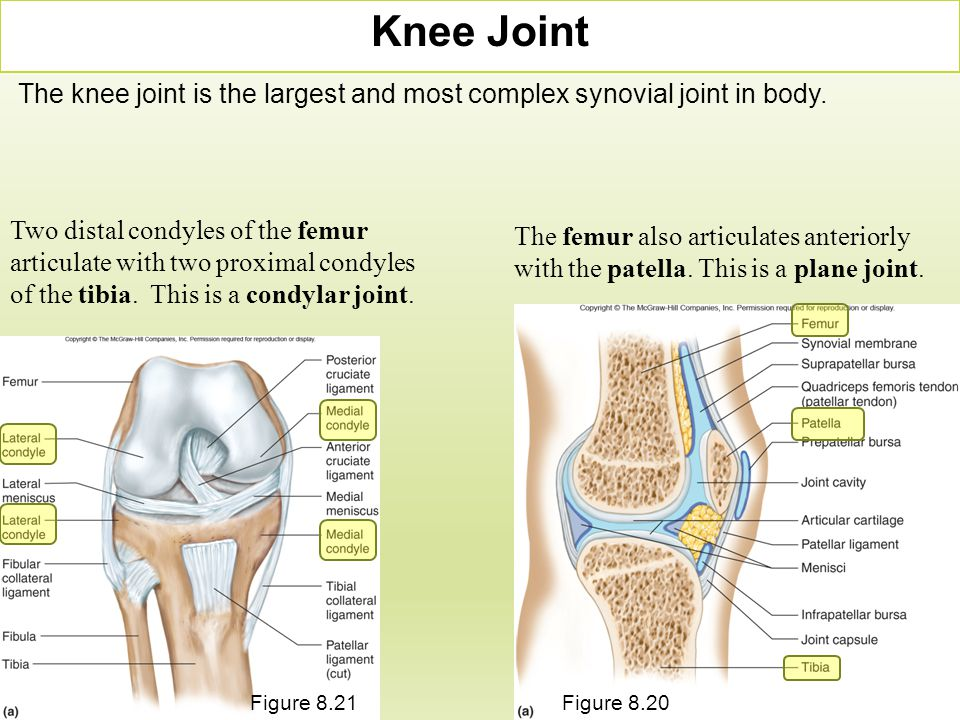 Knee Joint The knee joint is the largest and most complex synovial joint in body.