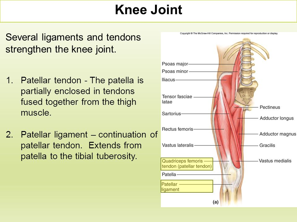Knee Joint Several ligaments and tendons strengthen the knee joint.