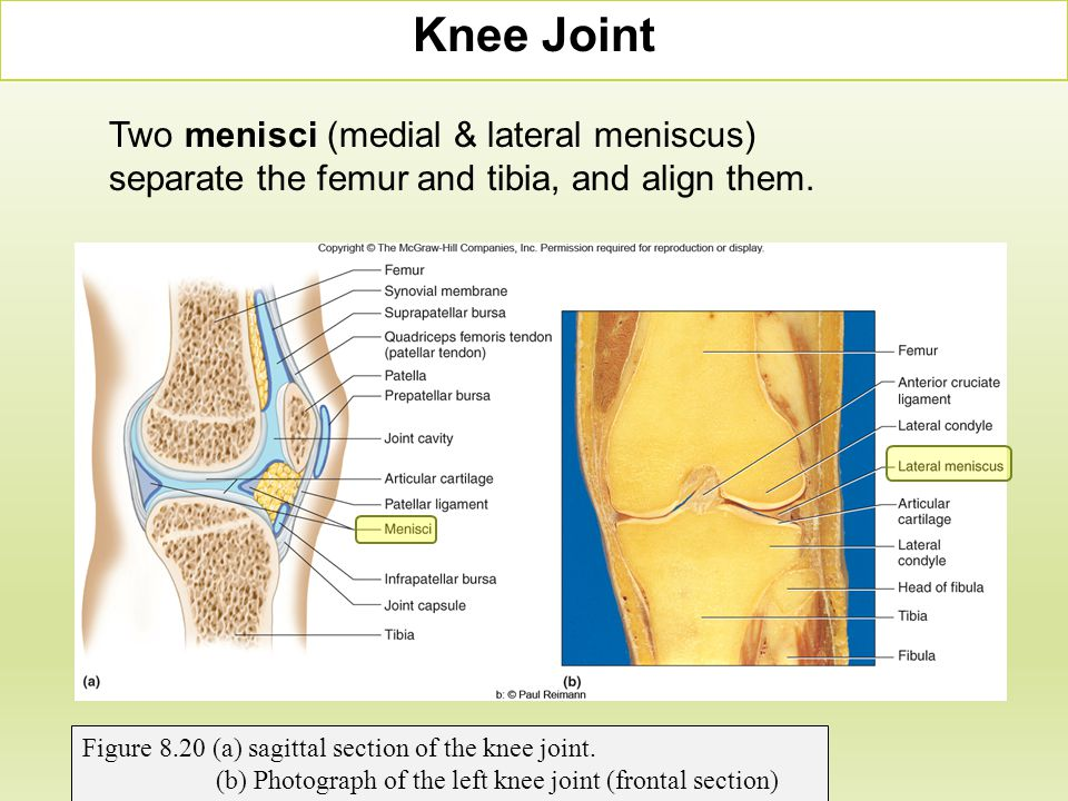 Knee Joint Two menisci (medial & lateral meniscus) separate the femur and tibia, and align them. Figure 8.20 (a) sagittal section of the knee joint.