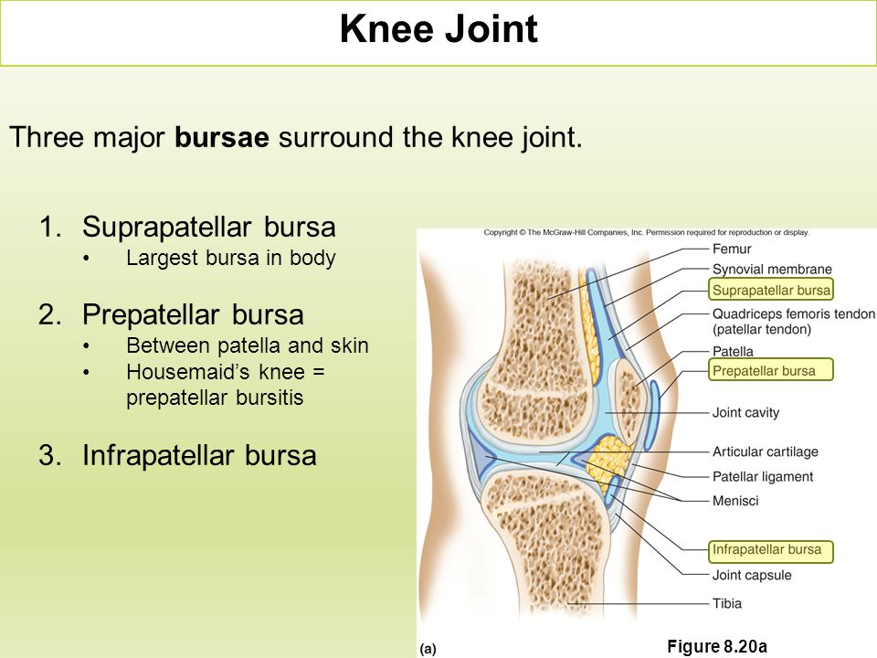Knee Joint Three major bursae surround the knee joint.
