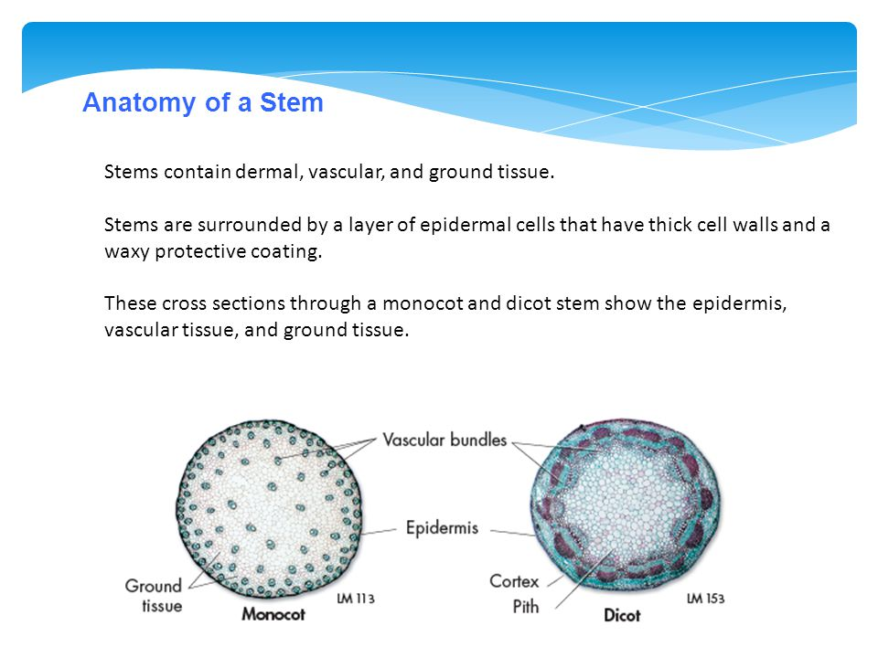 Anatomy of a Stem Stems contain dermal, vascular, and ground tissue.