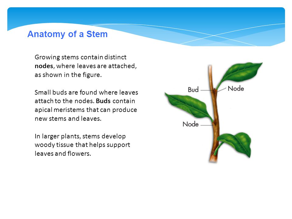 Anatomy of a Stem Growing stems contain distinct nodes, where leaves are attached, as shown in the figure.