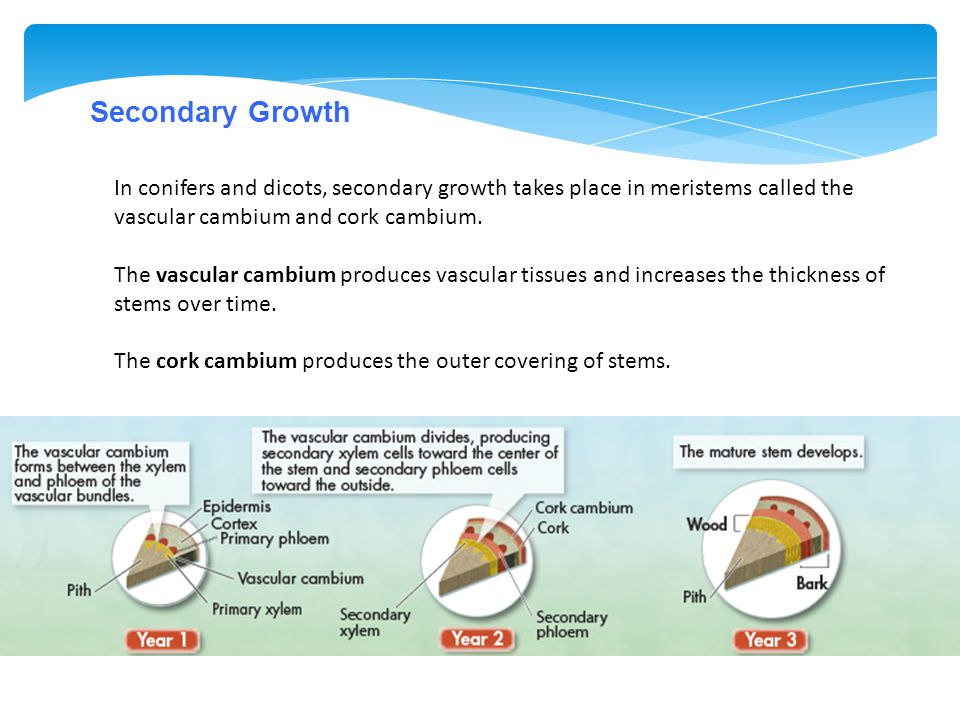 Secondary Growth In conifers and dicots, secondary growth takes place in meristems called the vascular cambium and cork cambium.