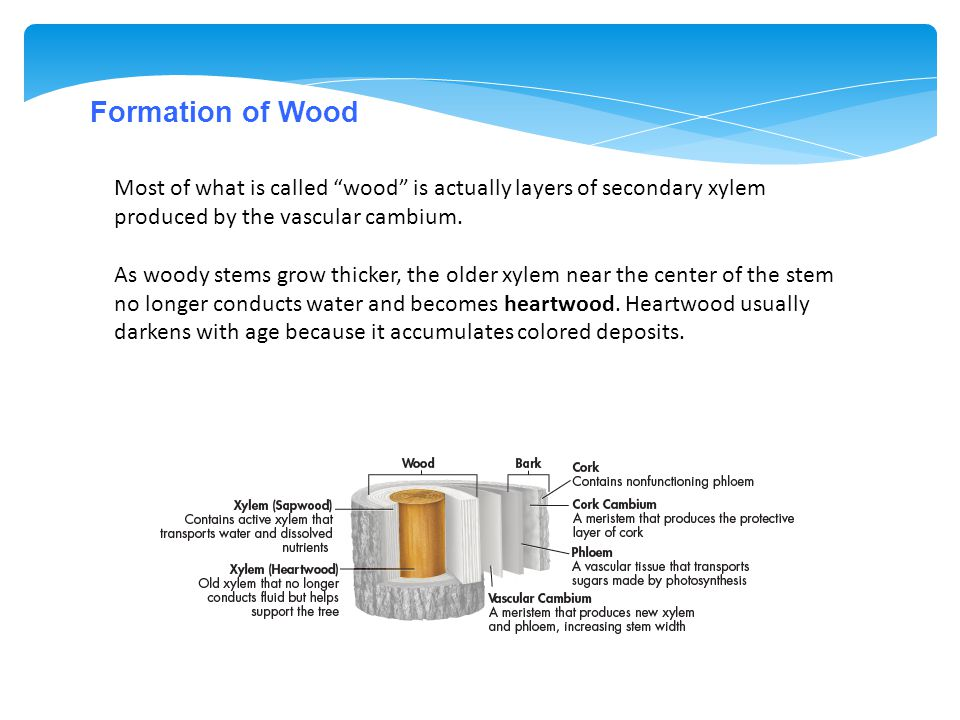 Formation of Wood Most of what is called wood is actually layers of secondary xylem produced by the vascular cambium.