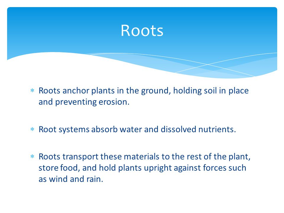 Roots Roots anchor plants in the ground, holding soil in place and preventing erosion. Root systems absorb water and dissolved nutrients.