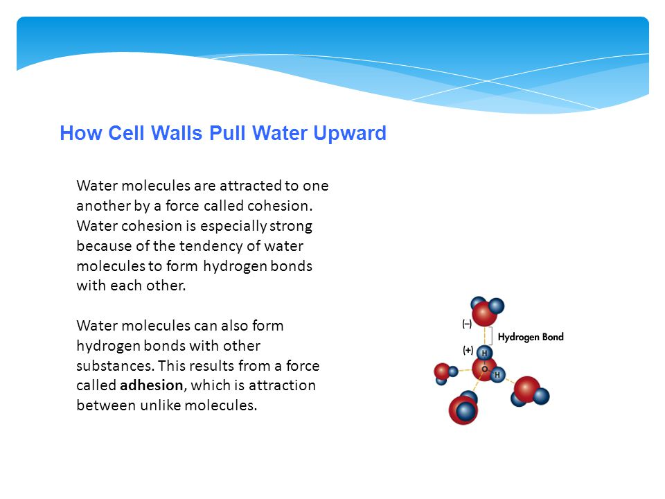 How Cell Walls Pull Water Upward