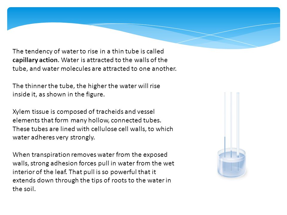 The tendency of water to rise in a thin tube is called capillary action. Water is attracted to the walls of the tube, and water molecules are attracted to one another.