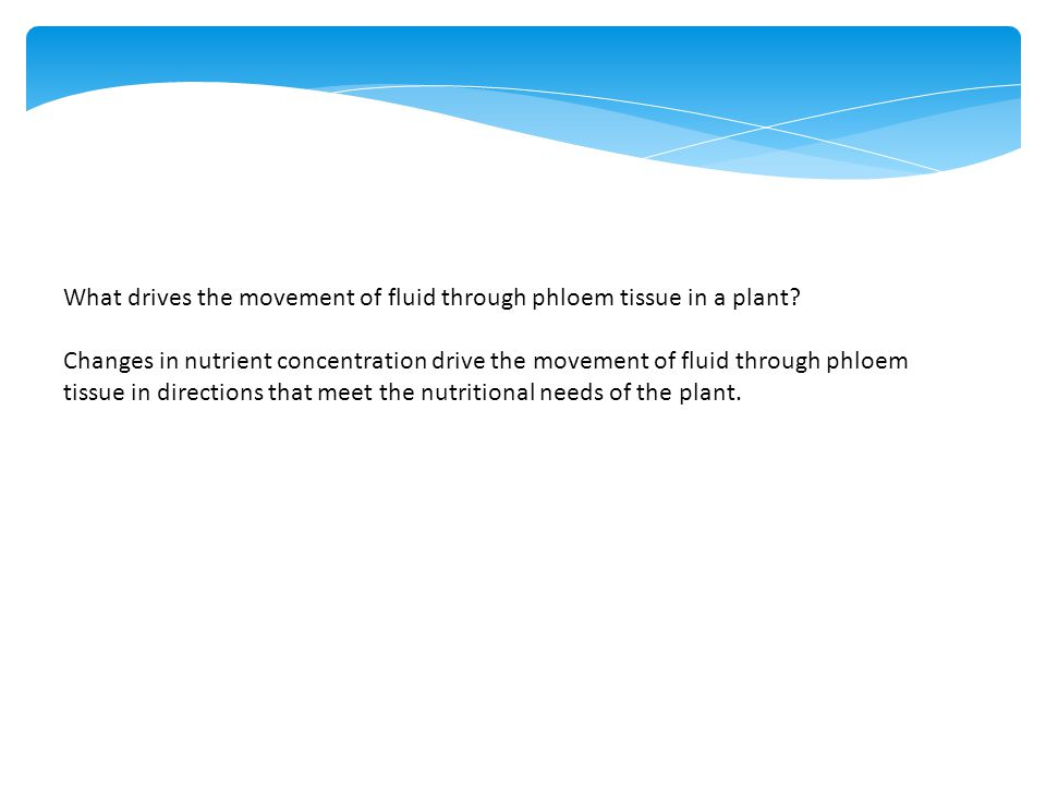 What drives the movement of fluid through phloem tissue in a plant