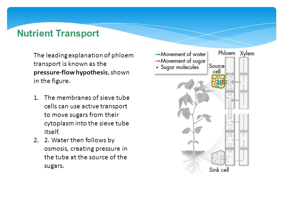 Nutrient Transport The leading explanation of phloem transport is known as the pressure-flow hypothesis, shown in the figure.