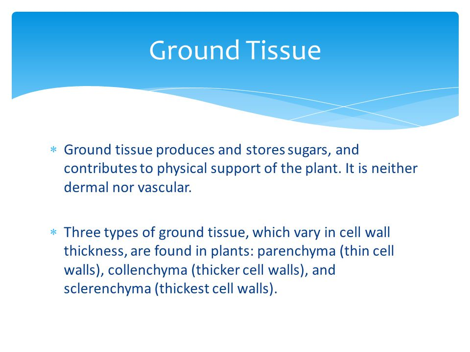 Ground Tissue Ground tissue produces and stores sugars, and contributes to physical support of the plant. It is neither dermal nor vascular.