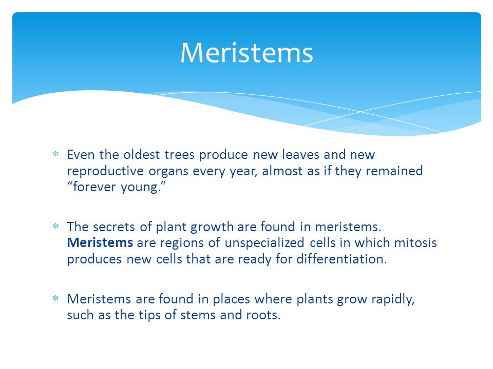 Meristems Even the oldest trees produce new leaves and new reproductive organs every year, almost as if they remained forever young.
