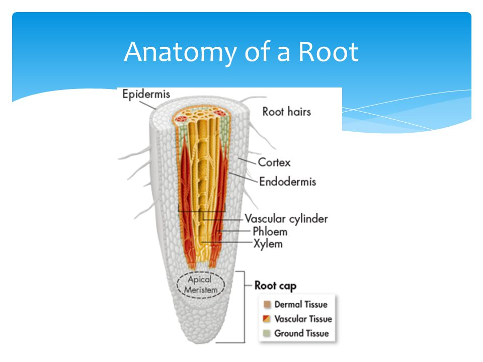 Anatomy of a Root