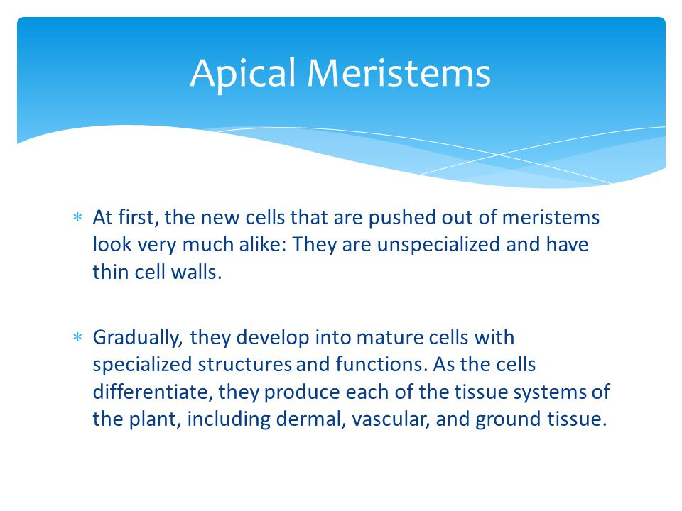 Apical Meristems At first, the new cells that are pushed out of meristems look very much alike: They are unspecialized and have thin cell walls.