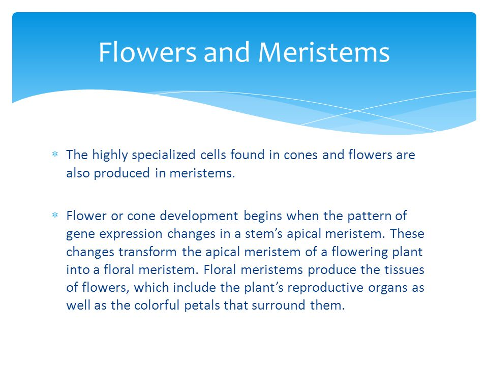 Flowers and Meristems The highly specialized cells found in cones and flowers are also produced in meristems.