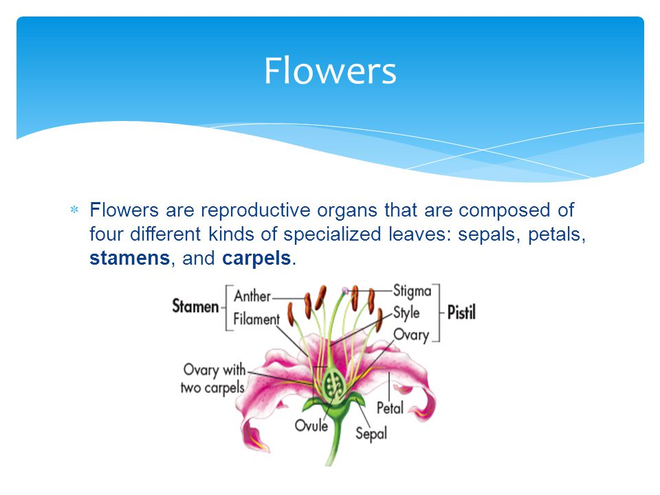 Flowers Flowers are reproductive organs that are composed of four different kinds of specialized leaves: sepals, petals, stamens, and carpels.