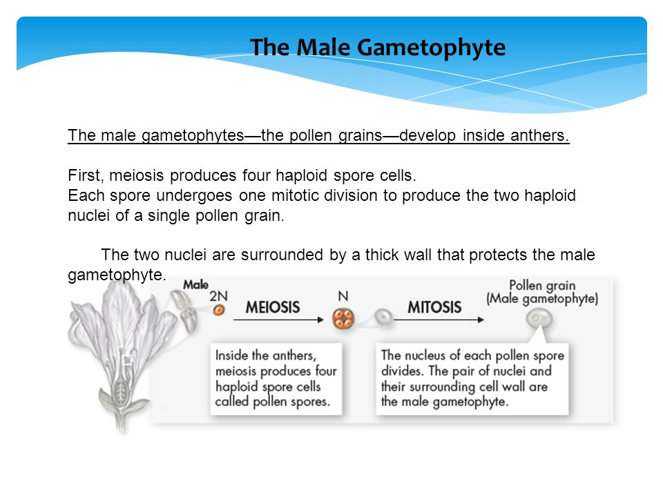 The Male Gametophyte The male gametophytes—the pollen grains—develop inside anthers. First, meiosis produces four haploid spore cells.