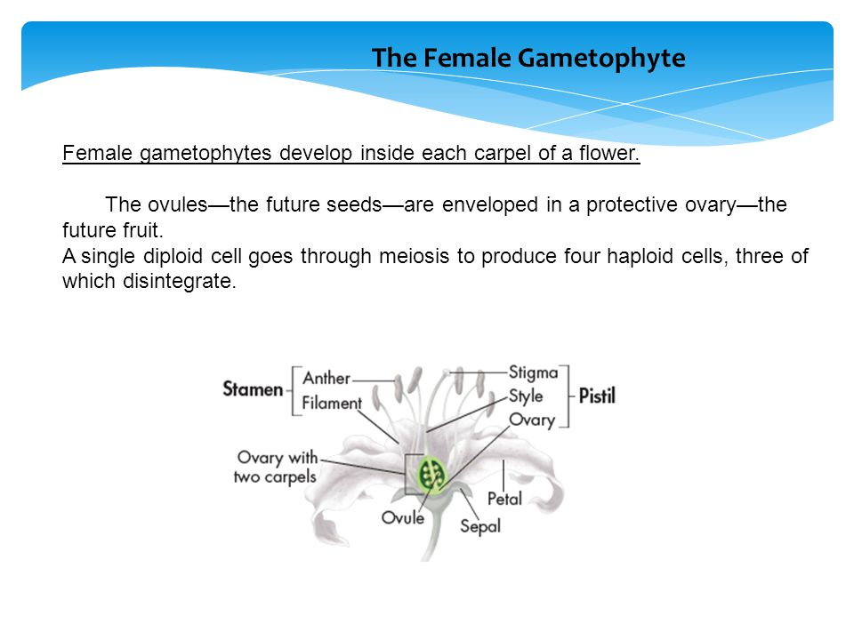 The Female Gametophyte