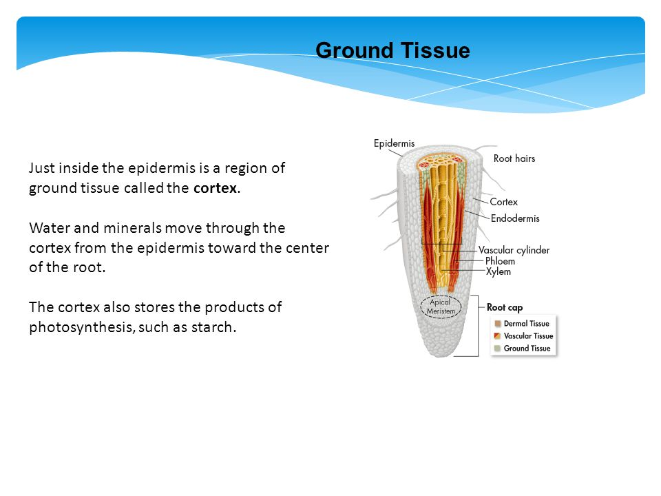 Ground Tissue Just inside the epidermis is a region of ground tissue called the cortex.