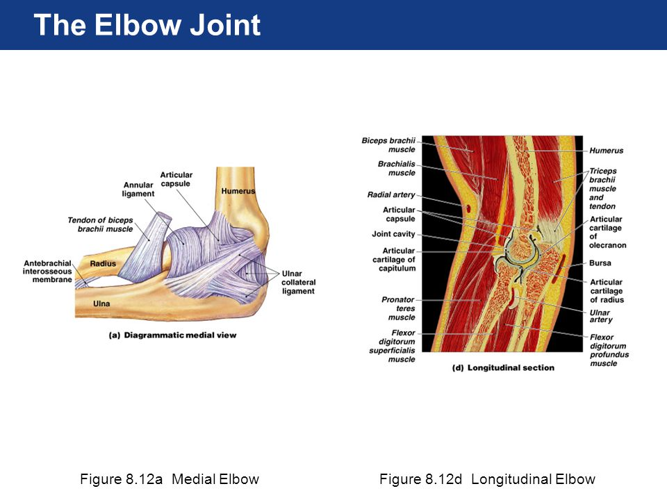 The Elbow Joint Figure 8.12a Medial Elbow