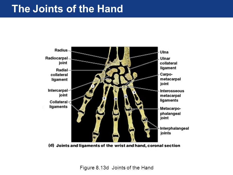 The Joints of the Hand Figure 8.13d Joints of the Hand