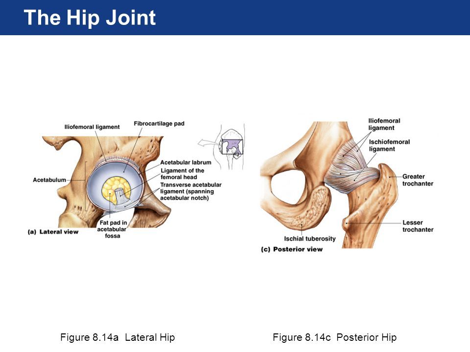 The Hip Joint Figure 8.14a Lateral Hip Figure 8.14c Posterior Hip