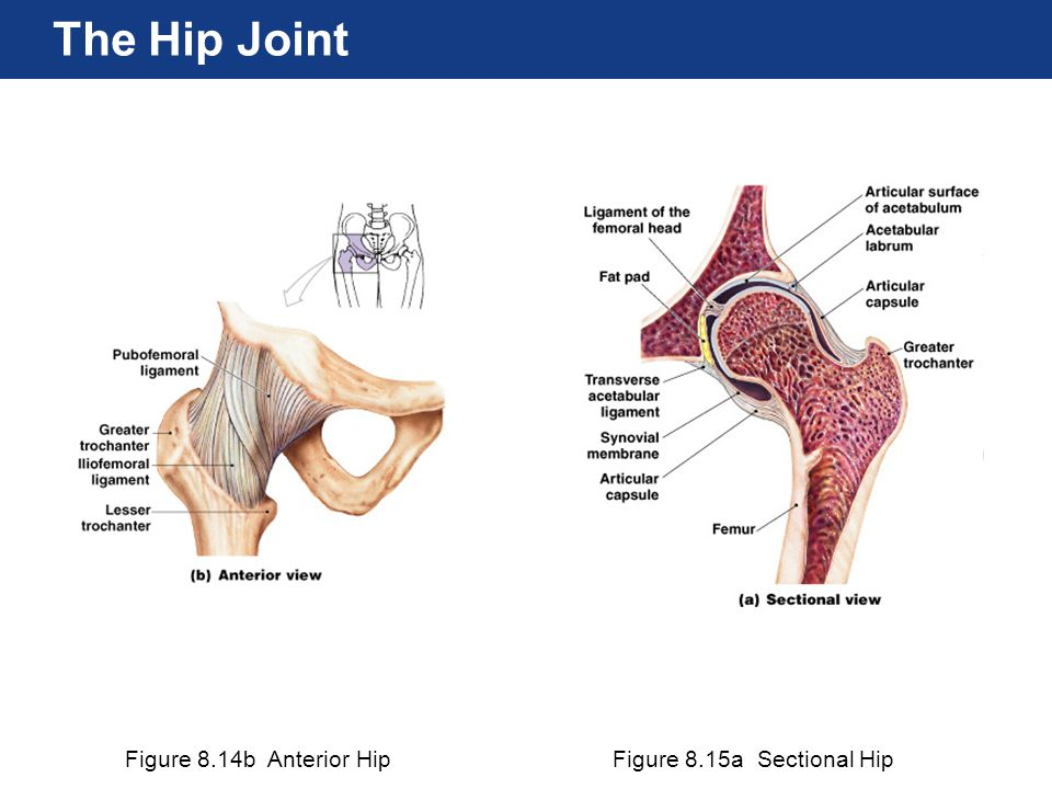 The Hip Joint Figure 8.14b Anterior Hip Figure 8.15a Sectional Hip