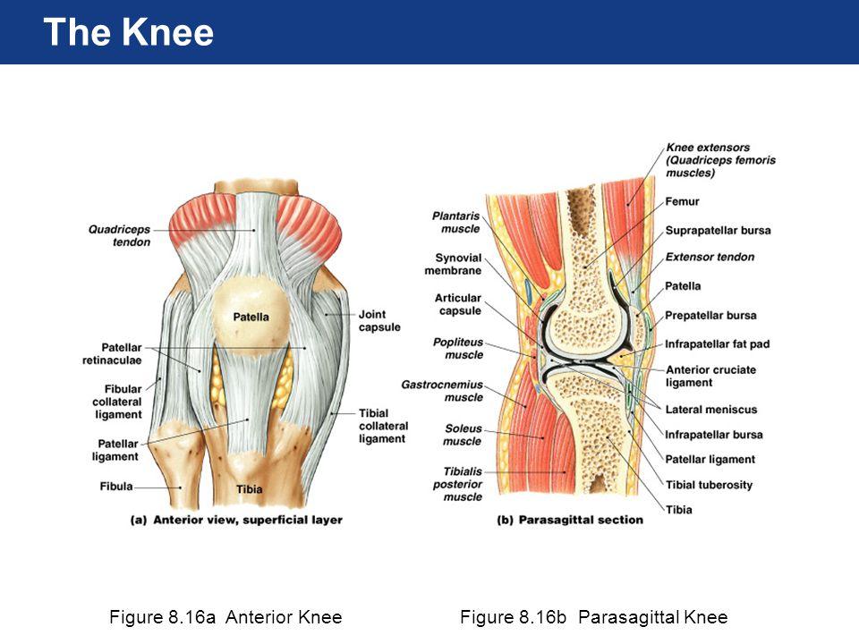 The Knee Figure 8.16a Anterior Knee Figure 8.16b Parasagittal Knee