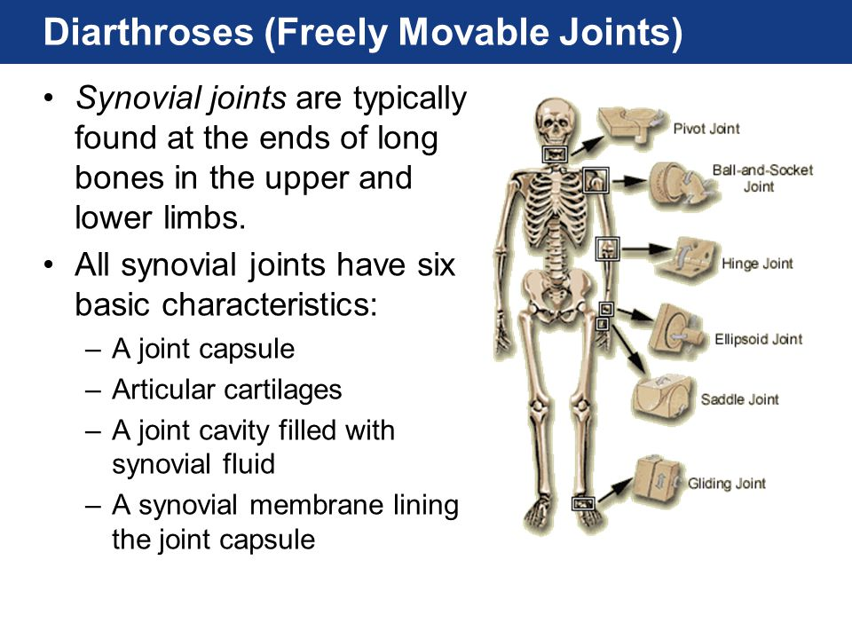 Diarthroses (Freely Movable Joints)