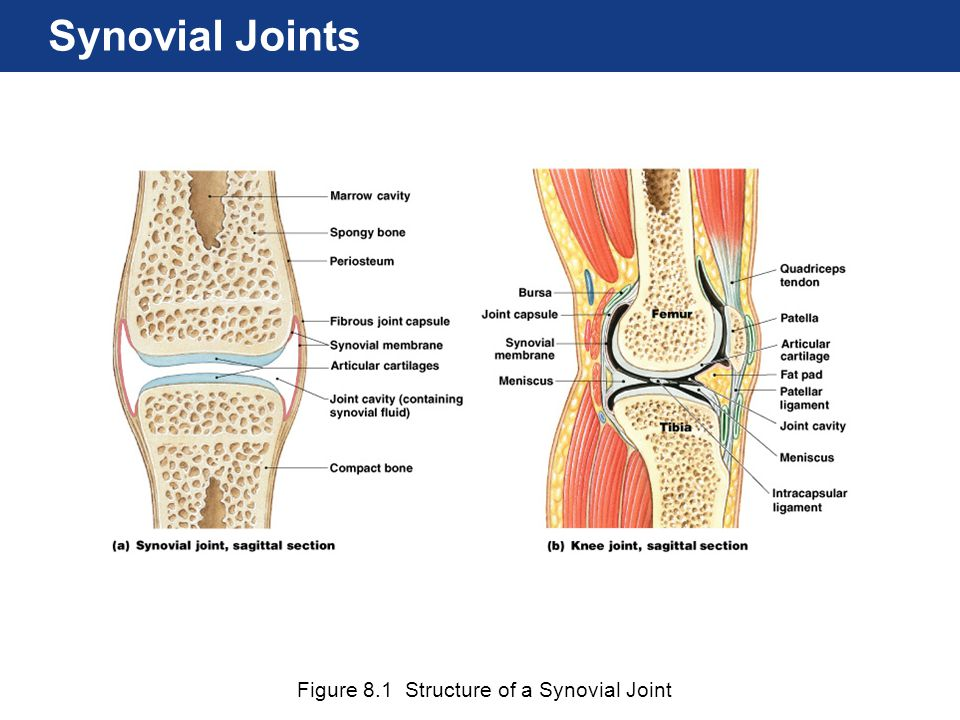 Synovial Joints Figure 8.1 Structure of a Synovial Joint