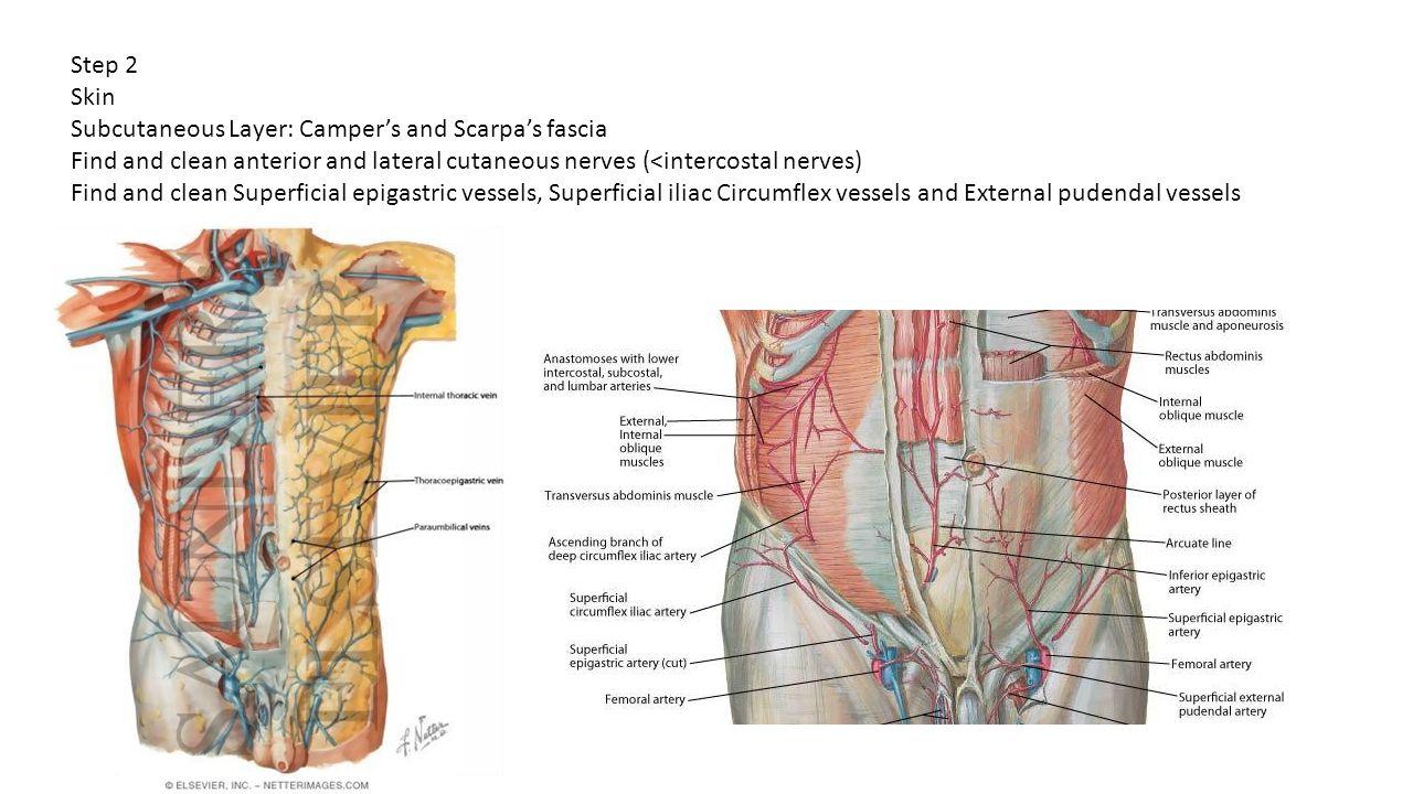 Inferior epigastric artery anatomy