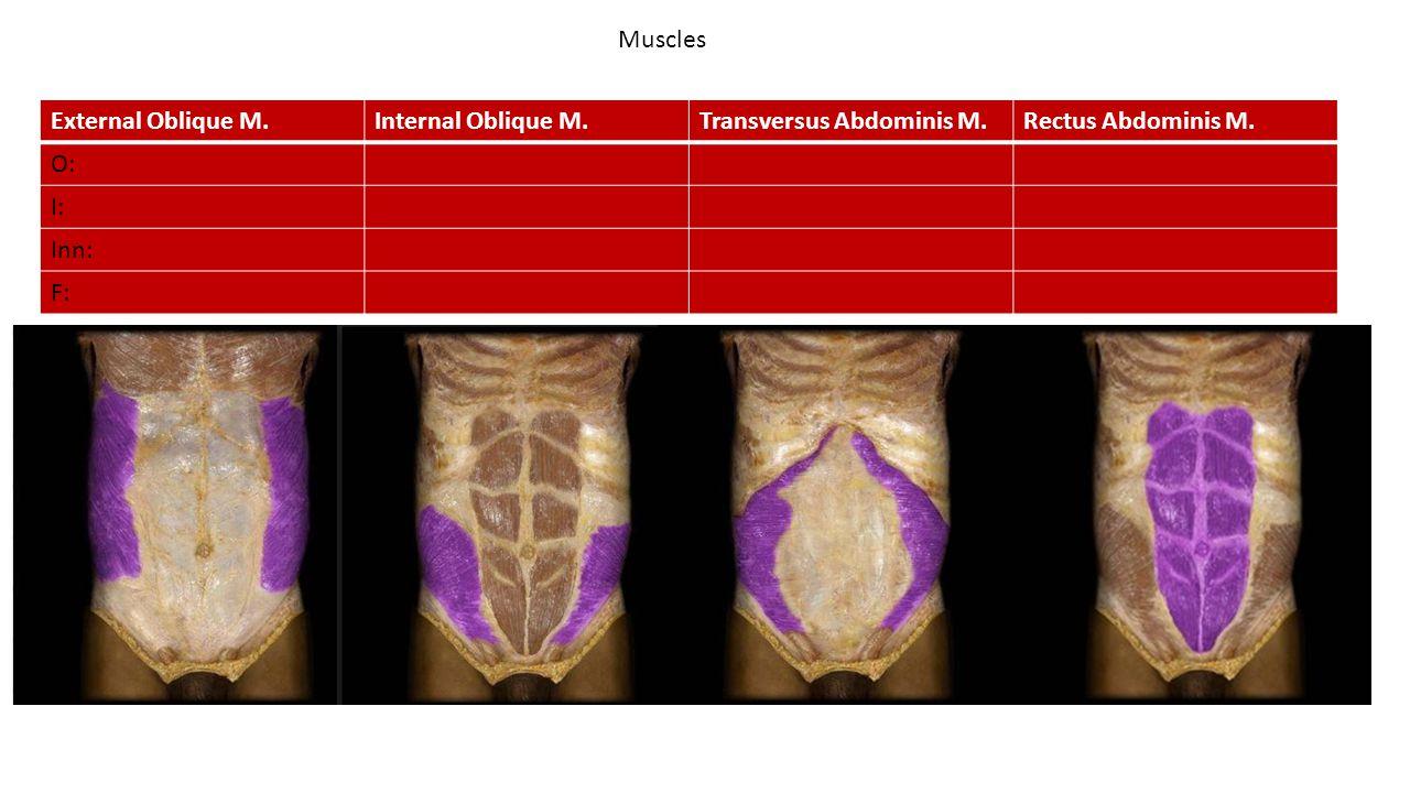 Muscles External Oblique M. Internal Oblique M. Transversus Abdominis M. Rectus Abdominis M. O:
