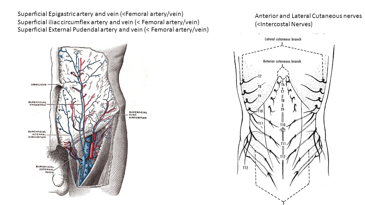 abdomen borders  superiorly  xiphoid process  the lower
