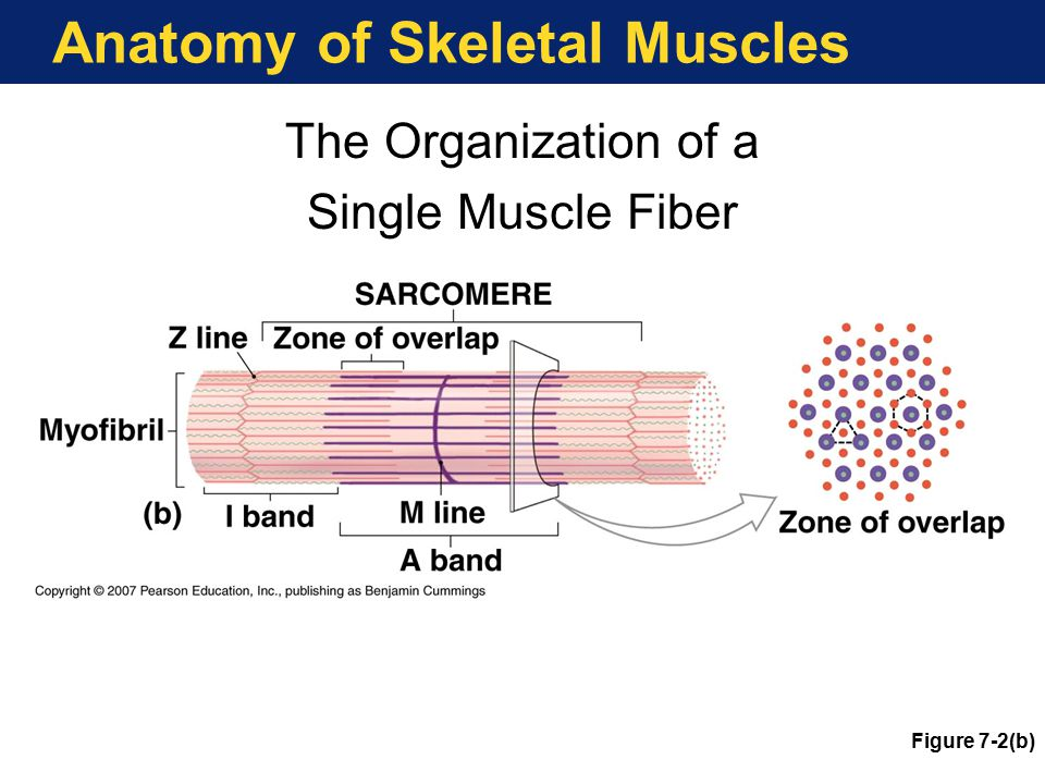 Anatomy of Skeletal Muscles