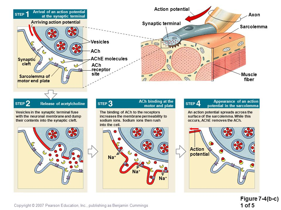 Figure 7-4(b-c) 1 of 5 Action potential Axon Synaptic terminal