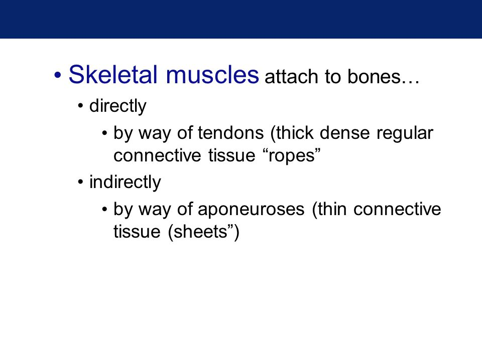 Skeletal muscles attach to bones…