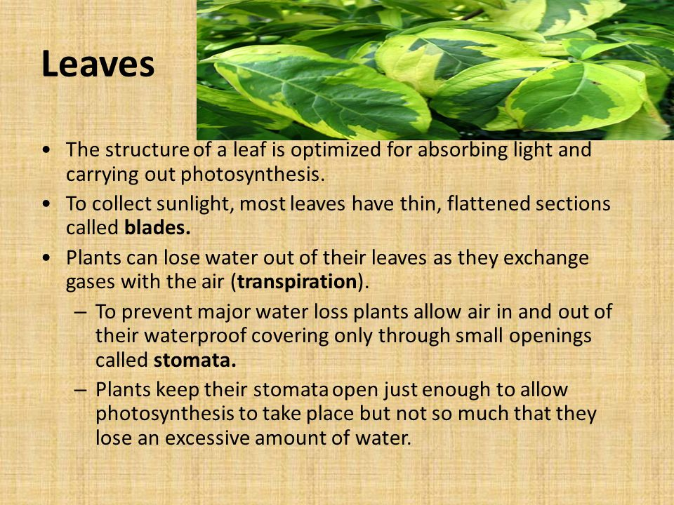 Leaves The structure of a leaf is optimized for absorbing light and carrying out photosynthesis.